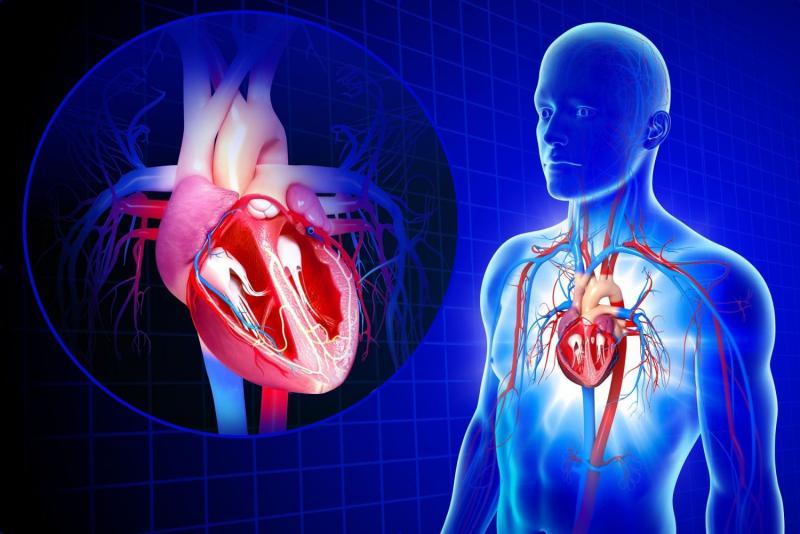 Сердце и сердечно сосудистая система картинки